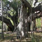 Banjan-Baum